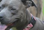 calcul âge Staffordshire bull terrier