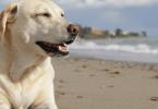 calcul âge Labrador Retriever